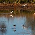 Black-winged stilt pond near Burke River Boulia Queensland P1030822.jpg