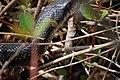 Black Snake (5690494057).jpg
