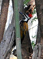 Black rumped Flameback (Dinopium benghalense) spotted at Madhurawada 01.jpg