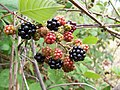 Blackberry fruits04.jpg