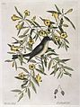 Blackcap fly-catcher perched on Yellow jessamy, 1731 Wellcome L0035363.jpg