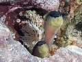Blackstripe dottyback (Pseudochromis perspicillatus) (48272091396).jpg
