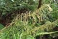 Blechnum novae-zelandiae kz21.jpg