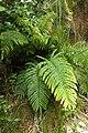 Blechnum novae-zelandiae kz9.jpg