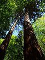Blick auf die Mammutbäume bei Kölpin.jpg