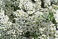 Blommande buske (8758951004).jpg