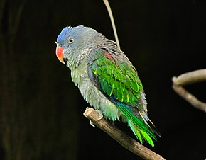 Description de l'image Blue-rumped Parrot Psittinus cyanurus (6970039210) (cropped).jpg.