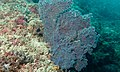 Blue Sea Fan (Acalycigorgia sp.) (6097275498).jpg