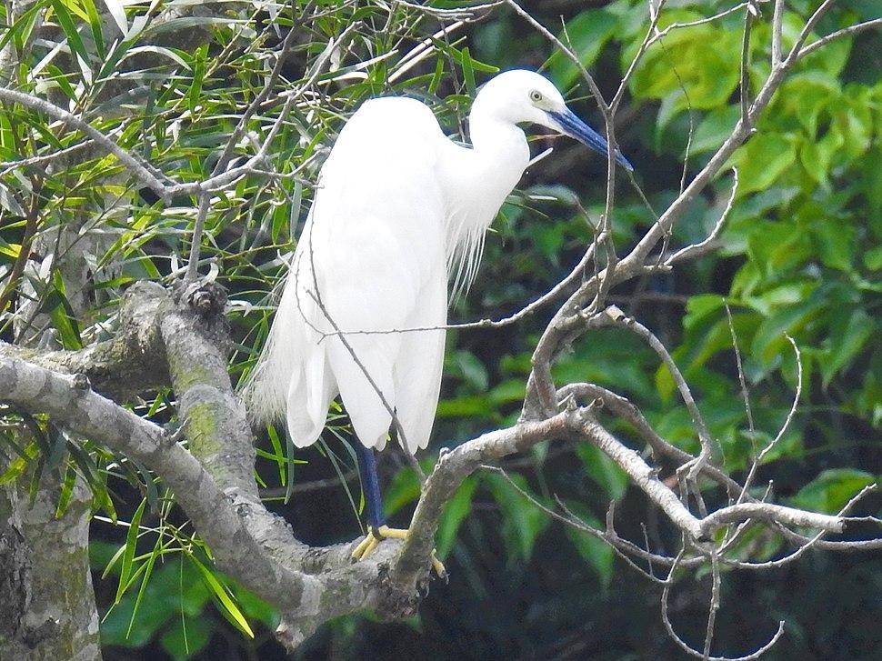 Blue beak little egret