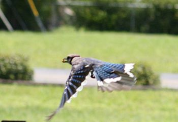 Blue jay flight