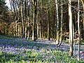 Bluebells and trees, East Croft Coppice - geograph.org.uk - 1266777.jpg