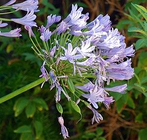 Muti - Agapanthus praecox flower