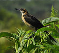 Boat-tailed Grackle at Lake Woodruff National Wildlife Refuge - Andrea Westmoreland (2).jpg