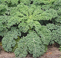 Curly kale, one of the many varieties of kale