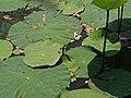 Bogor botanical gardens 2016 04.jpg