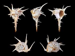 Bolinus cornutus 01.jpg