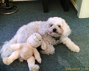 Bolognese dog - Image: Bologneser 2