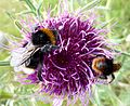 Bombus sylvestris (on left) - Flickr - gailhampshire.jpg