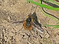 Bombylius major (Large bee fly), Arnhem, the Netherlands.JPG
