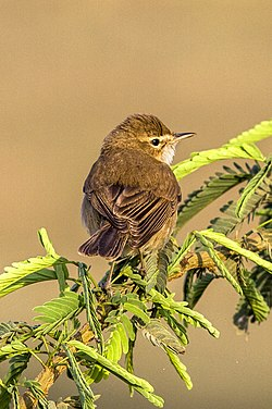 Booted Warbler (cropped).jpg