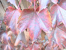 Boston Ivy Autumn.JPG