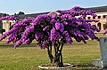 Bougainvillea at FRI 04.JPG