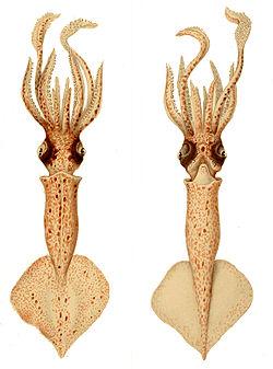 Brachioteuthis1.jpg