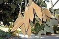 Brachychiton discolor - Leaning Pine Arboretum - DSC05419.JPG