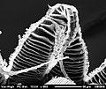 Brachythecium salebrosum (11590688536).jpg