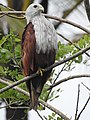 Brahminy kite (Haliastur indus)കൃഷ്ണപ്പരുന്ത് 3.jpg