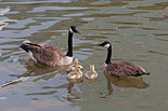 Branta canadensis Redwood Shores May 2011 013.jpg