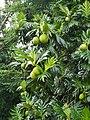 Breadfruit tree 2.jpg