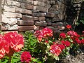 Brick wall and Pelargonium-Мушкатли 01.jpg
