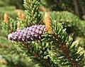 Bristlecone Pinus longaeva young cone.jpg