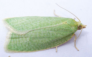 <i>Tortrix</i> genus of insects