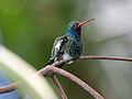 Broad-billed Hummingbird RWD5.jpg