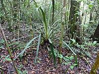 Bromeliad (Disteganthus gracieae) (39586155641).jpg