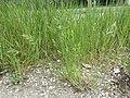 Bromus hordeaceus subsp. hordeaceus sl27.jpg