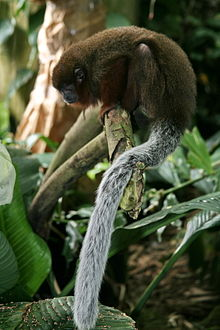 Brown Titi Monkey (Callicebus brunneus) (3419492981).jpg
