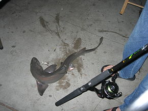 Description de l'image Brownsmoothhound.jpg.