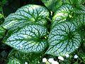 Brunnera macrophylla cv.02.jpg