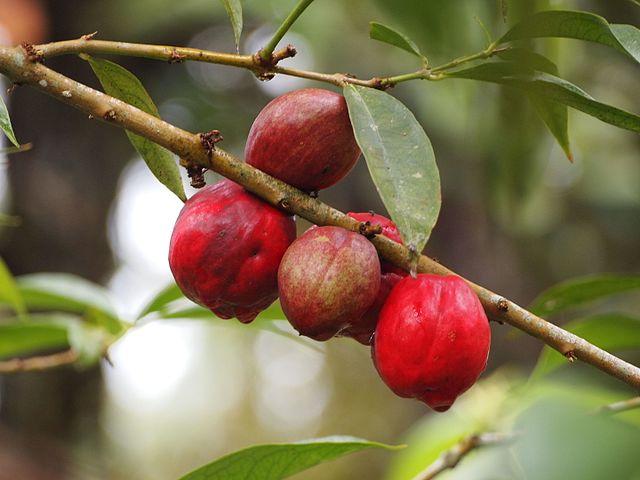 Manfaat buah mahkota ilahi bagi kesehatan 5 Manfaat Buah Mahkota Dewa bagi Kesehatan dan Pengobatan