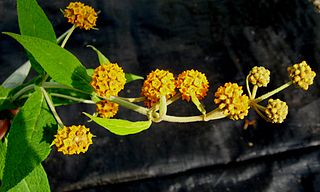 Buddlejaceae family of plants