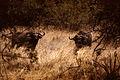 Bufalo afrikarrak.jpg