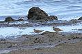 Buff-breasted Sandpiper (Tryngites subruficollis) (6097788462).jpg