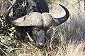 Buffalo feeding (10903163183).jpg
