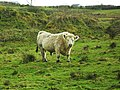 Bull at Crossnamoyle - geograph.org.uk - 1766301.jpg