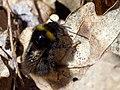 Bumblebee (254702783).jpeg