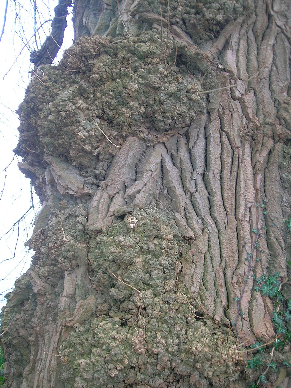 Burr on Black poplar
