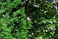 Burung Bondol Jawa 02.jpg